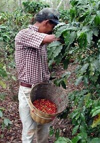 Coffee pickers can pick between 100 and 200 pounds (45 and 90 kg) of coffee cherries per day. Only 20 percent of this weight is the actual bean.