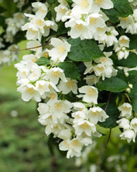 For a sweet scent to lure the humming bird, jasmine will do the trick.
