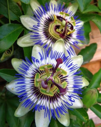 Passion flowers can give you a unique bloom in your garden.