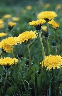 The dandelion plant is a hardy perennial.