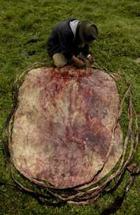 Humans have been using animal hide to make leather since prehistoric times.
