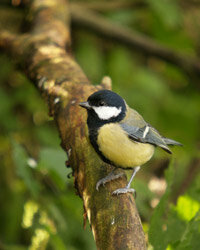 Dutch scientists studied the Great Tit (Parus major), looking for personality traits