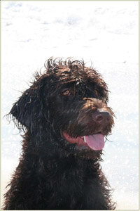 Another variation of an F1 Labradoodle