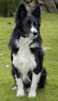 The border collie was originally bred on the Scottish/English border, as the name implies.