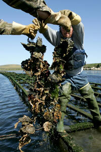 Drakes Bay Oyster Co. workers harvest strings of oysters from racks on Schooner Bay in Point Reyes Station, Calif.