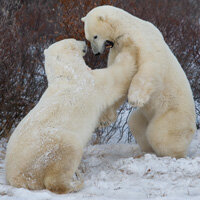 Polar bears -- like these shown in Manitoba, Canada -- are a prime example of animals adapting to their environment. But how did their fur change from brown to white? See more arctic animal images.