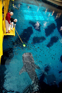 Bernie and Billi Marcus feed a whale shark.