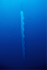 R. glesne gets vertical in waters nears the Bahamas. This photo is rare because giant oarfish aren't usually photographed alive.