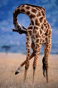 Thanks to their towering necks, giraffes can grow as tall as 19 feet (6 meters).
