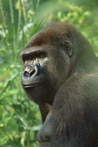 The Wildlife Conservation Society announced the discovery of 125,000 western lowland gorillas in the Congo.