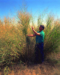 Researcher David Bransby inspects Alamo variety switchgrass on a University of Alabama test plot.