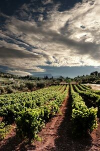 A vineyard in Corinth, a city in the Peloponnese region of Greece.