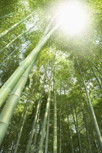Bamboo trees grow as fast as a foot a day.