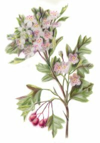 ©2007 Publications International The hawthorn plant is used in herbal remedies for heart disease and blood pressure problems.