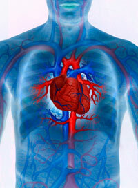 Heart failure develops slowly, over years. See more bodily organ pictures.
