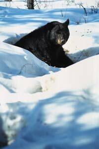 Early spring sun makes it warm enough to wake up a hibernating black bear.