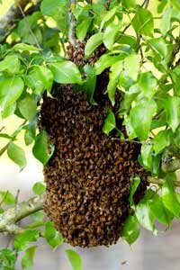 What does this swarm of honeybees have in common with Web servers?