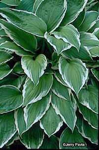 Hosta sieboldii makes a great ground cover plant, as it thrives in shade.