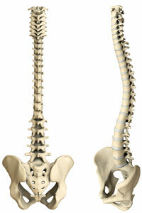 The human spine is shown here in rear and side views.