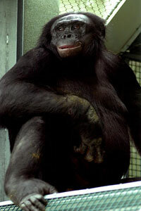 Kanzi really seems to know his stuff. See more pictures of primates.