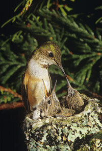 A hummingbird tends her nest in British Columbia. She'll use spider webs, lichen and soft bits of plants to make a home in a tree.