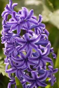 Hyacinth produces blossoms best known for their powerful fragrance. See more pictures of bulb gardens.