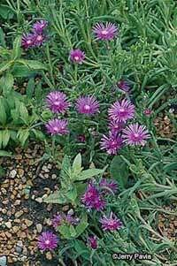 The hardy ice plant is used to harsh conditions.