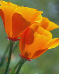 California poppys will fare much better in a warmer climate.