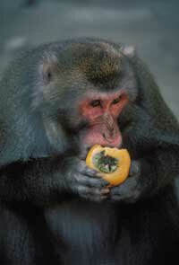 A Japanese monkey munching on a persimmon.