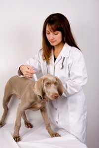 The bordetella vaccine inoculates dogs against kennel cough.