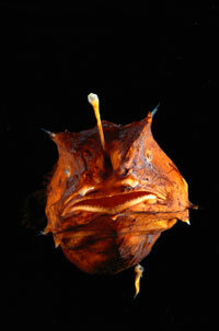 The anglerfish, with its bioluminescent protrusion for attracting prey.