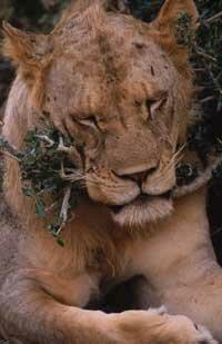 A maneless Tsavo lion.