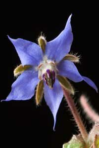 Starflower is native to Wisconsin.