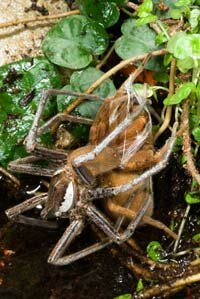 Giant fishing spider mating couple