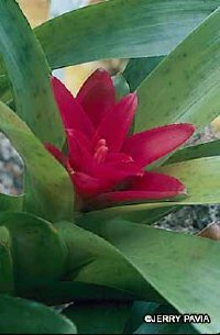 The nestling flowers of the Nidularium bromeliad  be kept moist. See more pictures of bromeliads.