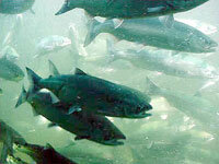 Sockeye salmon may be off the menu within our lifetime.