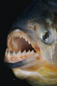 A piranha bears its fearsome teeth.