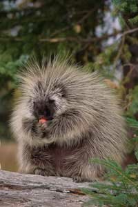 Those 30,000 quills might get in the way if you want to pet a porcupine. See more pictures of mammals.