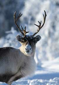 In the winter, reindeer dig lichen out from under the snow for food.