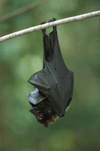 Bats like the spectacled flying fox (Pteropus conspicillatus) are great at dispersing seeds, which could help accelerate reforestation efforts.
