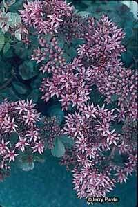 Ground-cover sedum works well in a trough or slope.