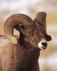Bighorn sheep are attracted to the natural salt lick at Horseshoe Park in the Rockies.