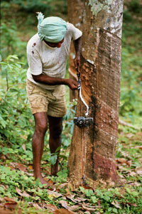 This Sri Lankan man isn't hoping for maple syrup. He's collecting latex from a nearby rubber tree.