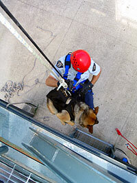 SAR dog and handler rappelling