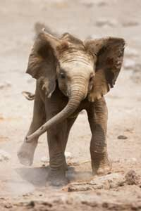 Baby elephants are big crowd pleasers. See more endangered animal pictures.