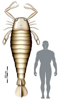A eurypterid, or giant sea scorpion, would be taller than a man.
