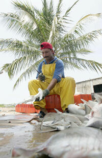 A fisherman cleans a small hammerhead shark at Boca del Asadero, state of Nayarit, Mexico. See more shark pictures.