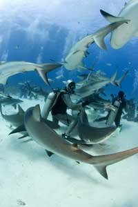Hungry sharks may power through an uncomfortable electrical field. See more shark pictures.