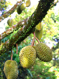 Durian is popular in Southeast Asia. Some people love the spiky fruit's pungent odor, and others think it's revolting.