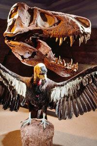 Was Tyrannosaurus rex a predator, or was it a scavenger like this California condor (Gymnogyps californianus)?